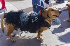 Marzo de perros basset Imagen de archivo
