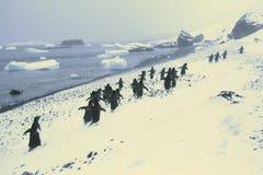 Marzo dei pinguini; fotografia stock libera da diritti