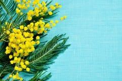 8 marzo fondo - i rami della mimosa sulla tela del turchese sorgono Fotografie Stock
