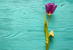 8 marzo, giorno del ` s della madre, tulipani su fondo blu Fotografie Stock Libere da Diritti