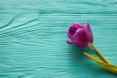 8 marzo, giorno del ` s della madre, tulipani su fondo blu Immagine Stock