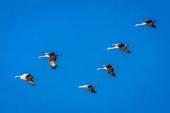 7 marzo 2017 - le gru migratori della grande isola, Nebraska - di PLATTE del FIUME, STATI UNITI Sandhill sono sulla loro migrazio Fotografie Stock Libere da Diritti