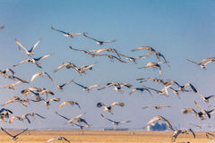 7 marzo 2017 - le gru migratori della grande isola, Nebraska - di PLATTE del FIUME, STATI UNITI Sandhill sorvolano il campo di ma Fotografie Stock