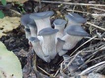 Marzuolus Hygrophorus Стоковое Изображение