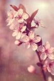 Marzycielski czereśniowego drzewa kwiat Obrazy Royalty Free