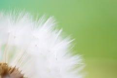 Marzycielski dandelion makro- Obrazy Stock