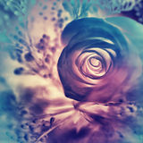 Marzycielski różany tło zdjęcie royalty free