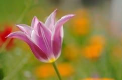 Marzycielski wiosna tulipan obraz stock