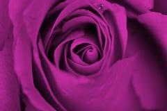 Marzycielskie purpurowe róże zdjęcie royalty free