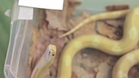 Masła mothley kukurydzany wąż lub czerwonego szczura wąż, pantherophis guttatus próbuje znajdować sposób z terrarium zdjęcie wideo