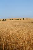 Maïs classé Photographie stock