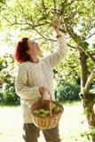 Maçãs da colheita da mulher fora da árvore Fotografia de Stock