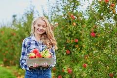 Maçãs da colheita da mulher na caixa de madeira na exploração agrícola Imagem de Stock Royalty Free