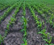 Maïs de champ Photographie stock libre de droits