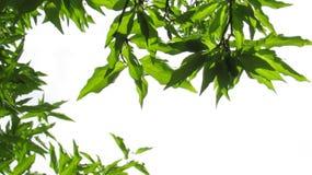 MAS de Cherry Cornus de cornaline Branchements avec les lames vertes Photo stock