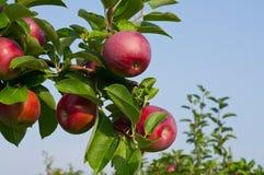 Maçãs e árvores de Apple Imagens de Stock