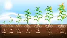 Maïs grandissant au sol Images libres de droits