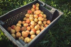 maçãs no jardim no outono Foto de Stock Royalty Free