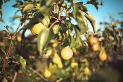 maçãs no jardim no outono Imagem de Stock Royalty Free