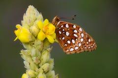 Masłowata komarnica na kwiacie Zdjęcie Royalty Free