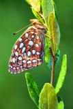 Masłowata komarnica na kwiacie Obraz Royalty Free