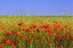 Maïs Poppy Field Photographie stock
