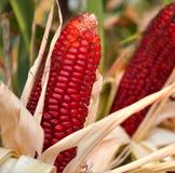 Maïs rouge Photos stock