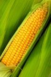 Maïs sur l'épi Photographie stock libre de droits