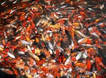 Masa de los pescados de la carpa Fotos de archivo libres de regalías