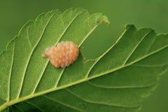 Masa del huevo del insecto del hedor foto de archivo