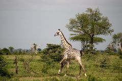 Masaai giraffe, Selous National Park, Tanzania Royalty Free Stock Photography