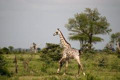 Masaai giraffe, Selous National Park, Tanzania. An albino masaai giraffe is a rare sight Royalty Free Stock Photography