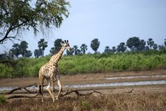 Masaai giraffes, Selous National Park, Tanzania. A lone masaai giraffe is walking in the savannah Stock Photos