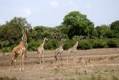 Masaai giraffes, Selous National Park, Tanzania. Masaai giraffes are walking in the savannah Royalty Free Stock Photos