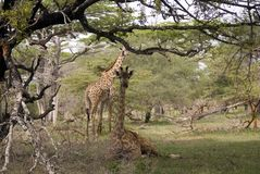 Masaai giraffes, Selous National Park, Tanzania Royalty Free Stock Photo