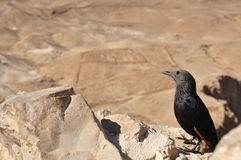 Masada Grackle imagem de stock royalty free