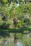 Masai żyrafa przy podlewanie dziurą Obrazy Stock