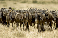 masai της Κένυας mara το πιό wildebeesτο Στοκ εικόνα με δικαίωμα ελεύθερης χρήσης