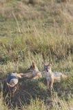 masai τρία της Κένυας mara jackals μωρών Στοκ Εικόνα