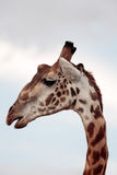 Masai или жираф Килиманджаро Стоковое Изображение RF