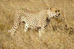 masai Кении mara гепарда Стоковые Изображения