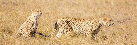 masai Кении mara гепарда Стоковые Фотографии RF