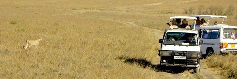 masai Кении mara гепарда Стоковая Фотография