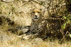masai Кении mara гепарда Стоковая Фотография RF