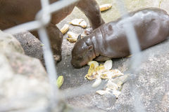 masai Кении mara гиппопотама младенца Африки Стоковые Фотографии RF