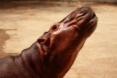 masai Кении mara гиппопотама младенца Африки Стоковое Фото