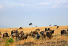 masai Кении mara Стоковые Изображения RF