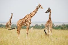 masai Кении mara giraffe семьи Стоковые Изображения