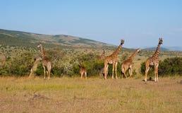 masai Кении mara giraffes Стоковая Фотография RF