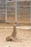 Masai Baby Giraffe. Laying down in Houston, Texas zoo Royalty Free Stock Photography